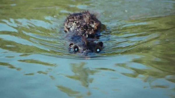 Swiming Beaver